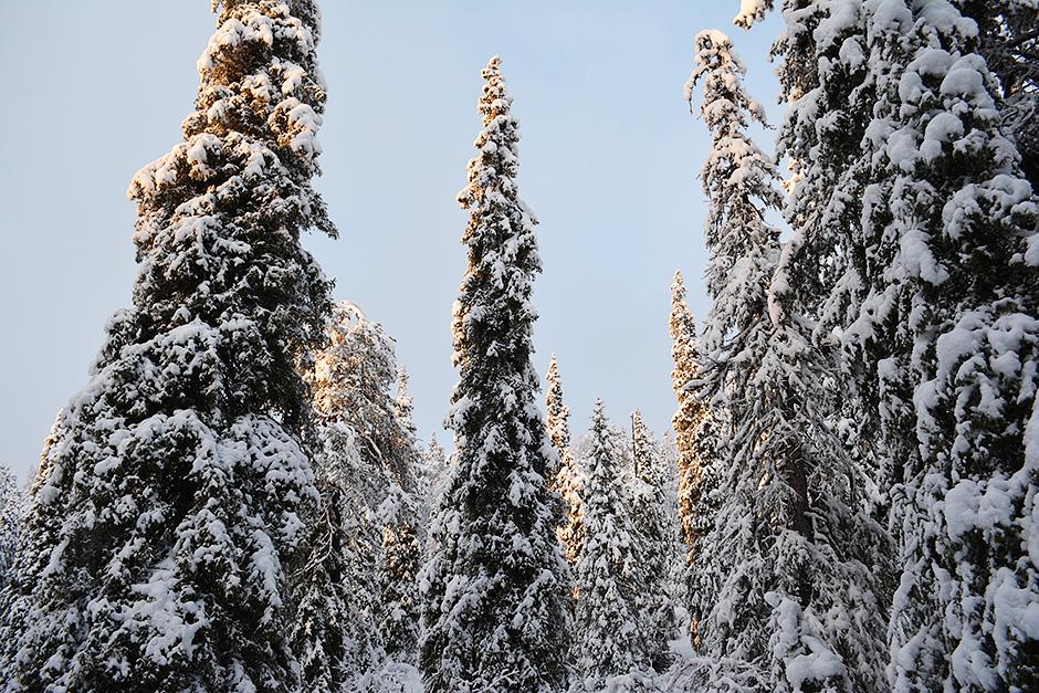 Lumisia puunlatvoja Valtavaaralla