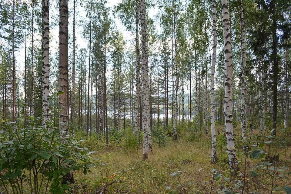 Maisemaa järvelle koivikon takaa Nilsiän Kypäräisellä.