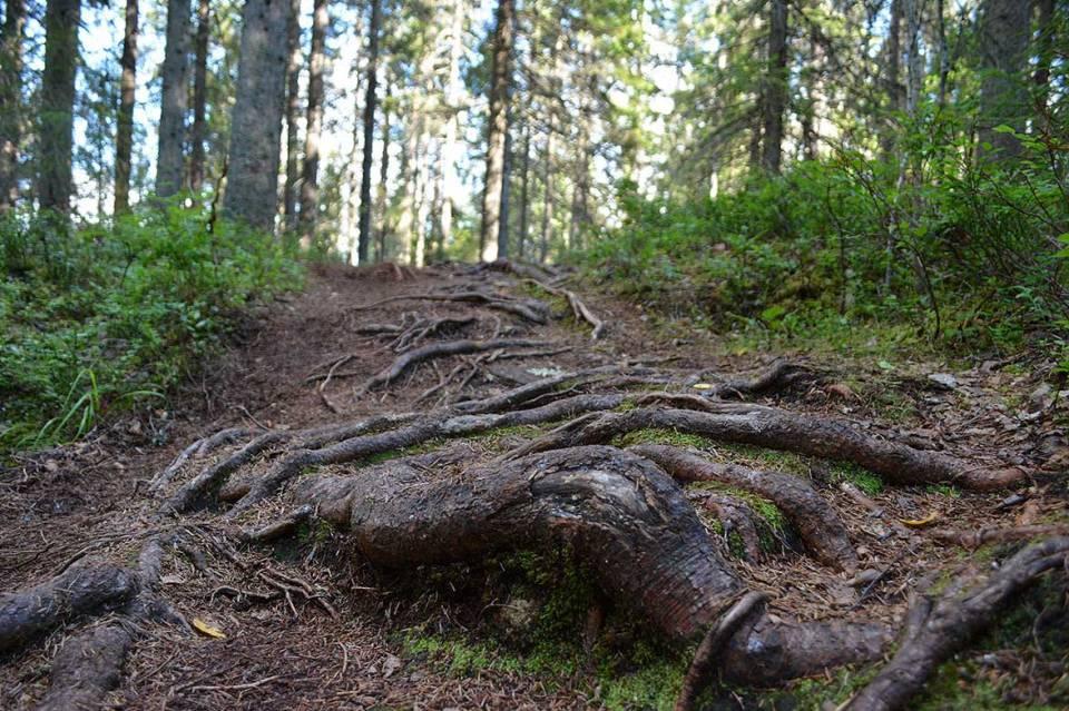 Metsäpolkuja ja juurakkoa Kuopiossa