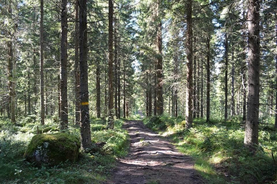 ystinen metsämaisema Orinorolla