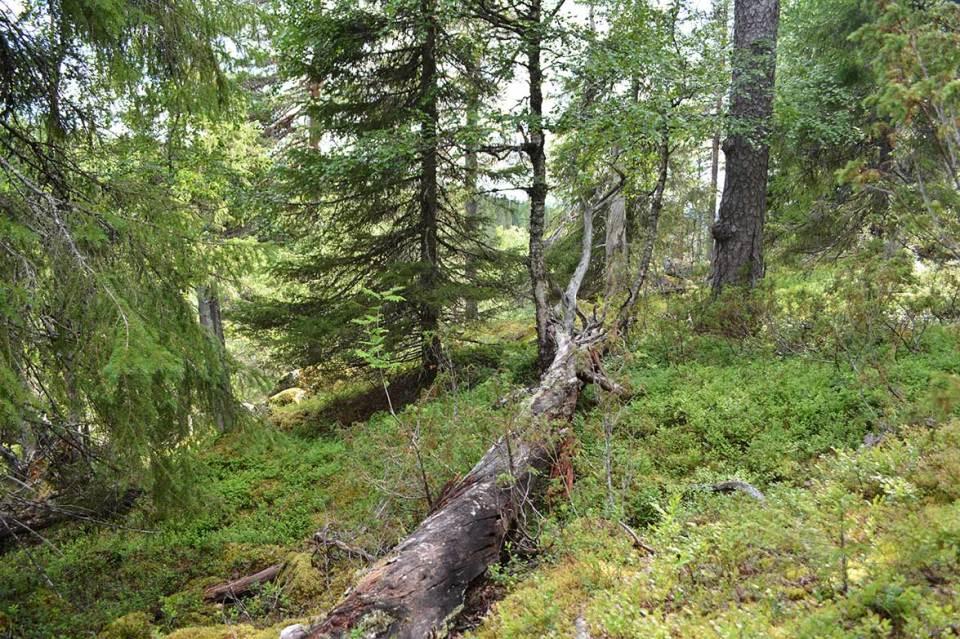 Kaatuneita puita Syötteen kansallispuistossa
