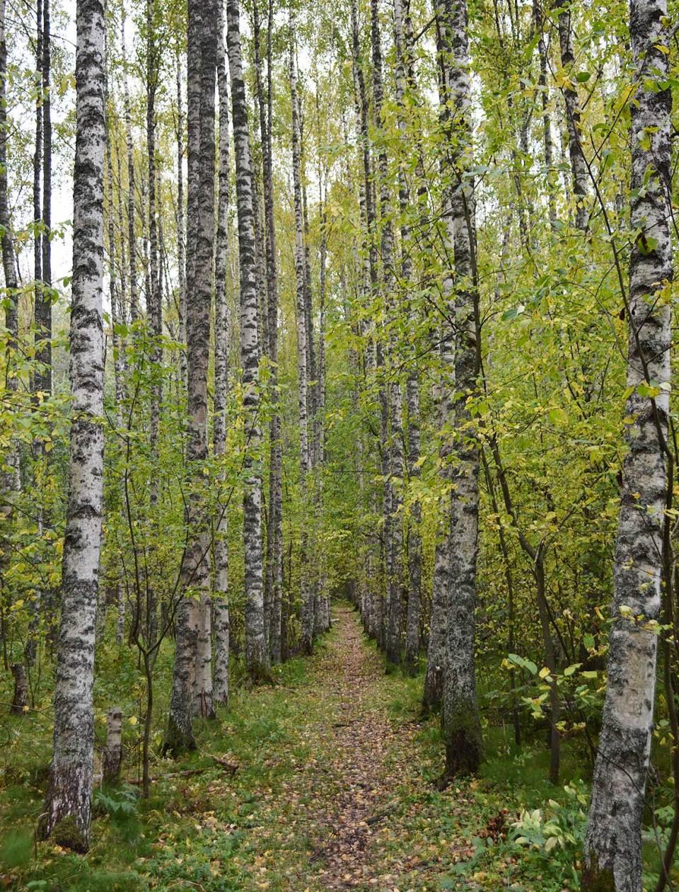 Kuopion luontopolut tarjoavat näinkin upeita maisemia. Koivukuja Salmenjoen luontopolulla.