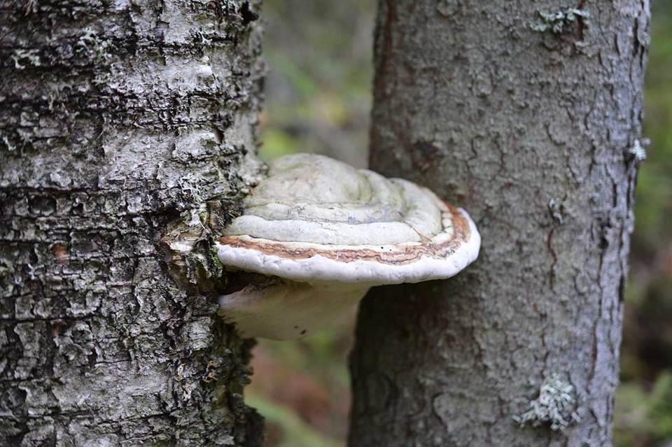 Sieniä puussa kelokylän luontopolulla