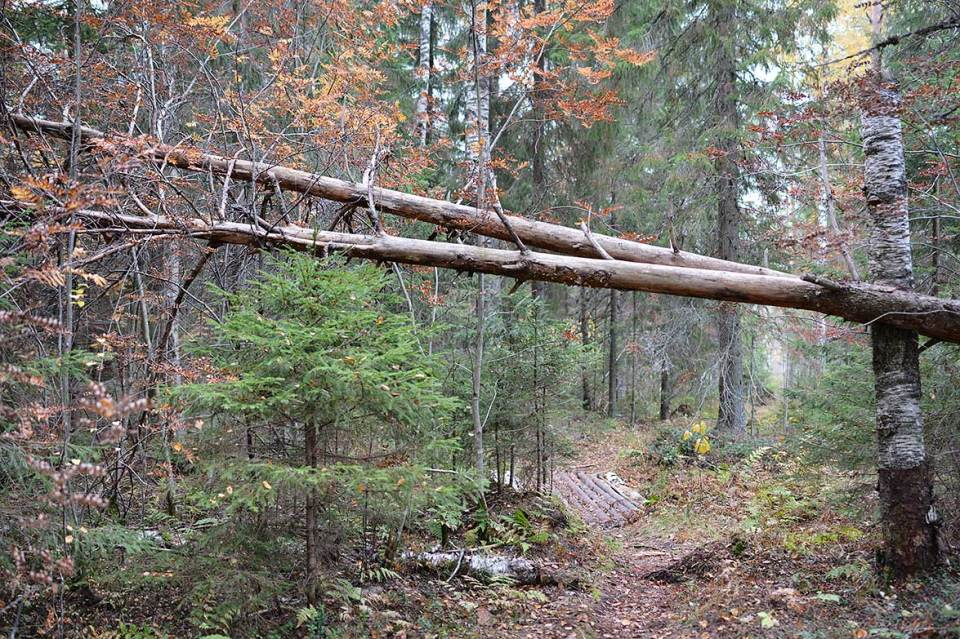 Puita kaatuneena polun ylle
