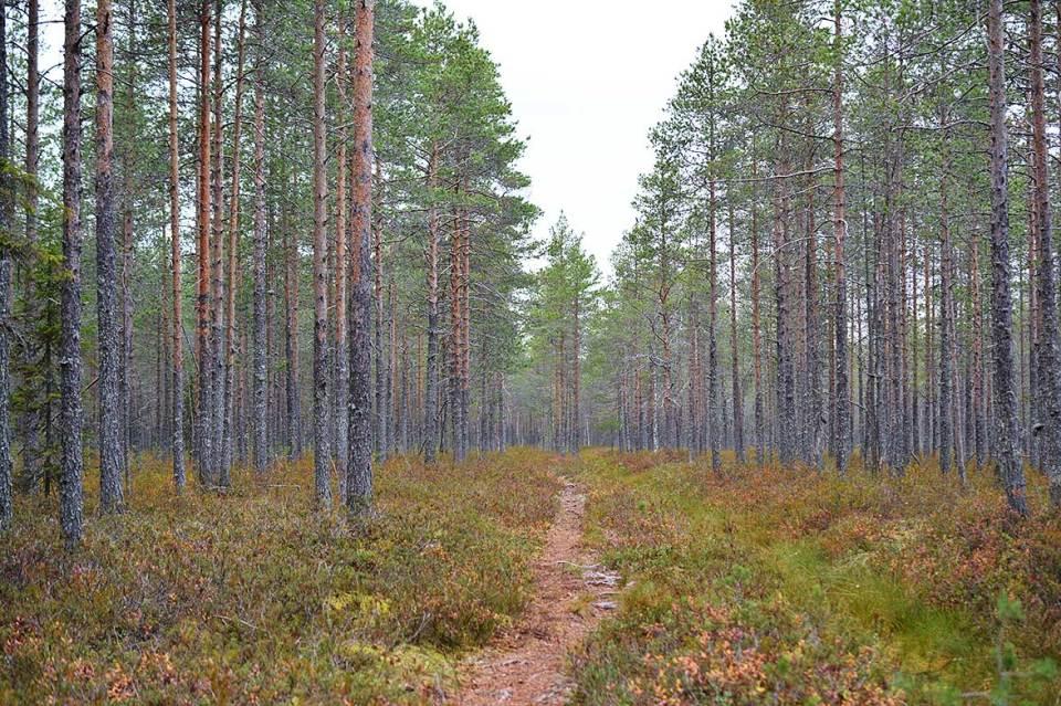 Polku kulkee Kurkimäen Varkaansuon läpi