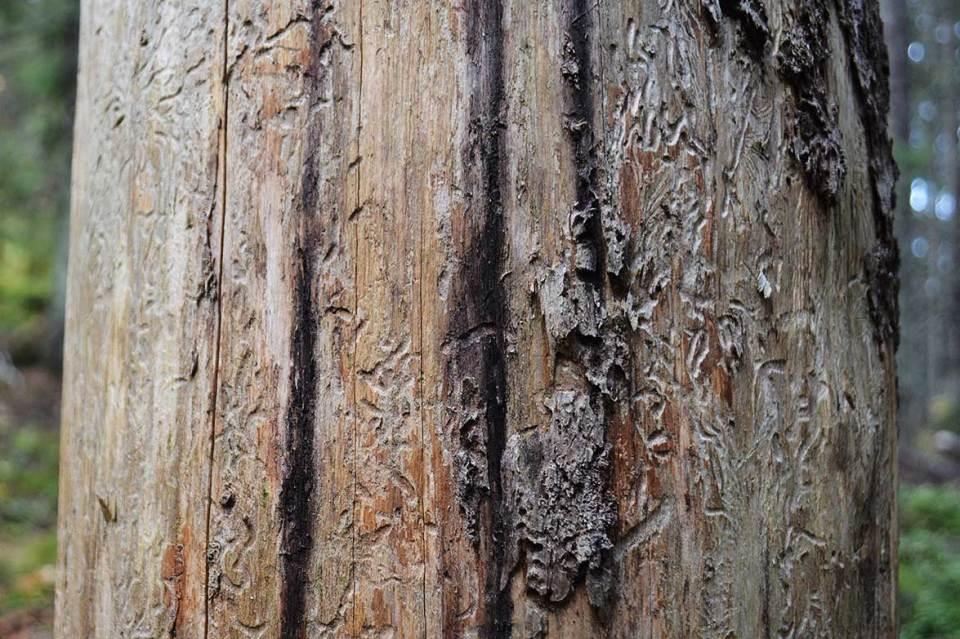Yksityiskohtia puun rungolla.