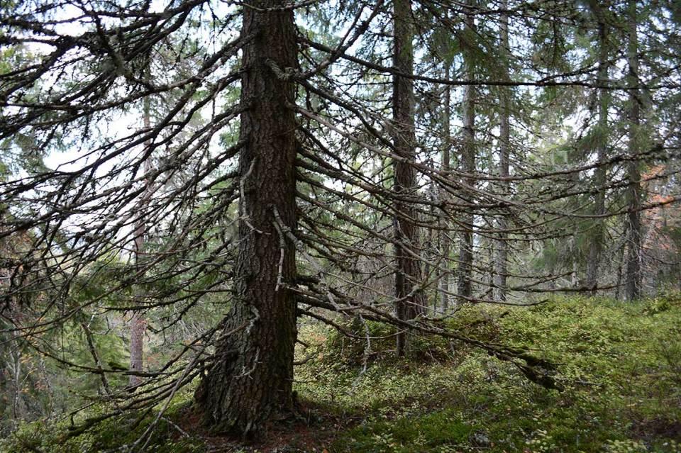 Vanhoja puita Ukko-Vanulla.