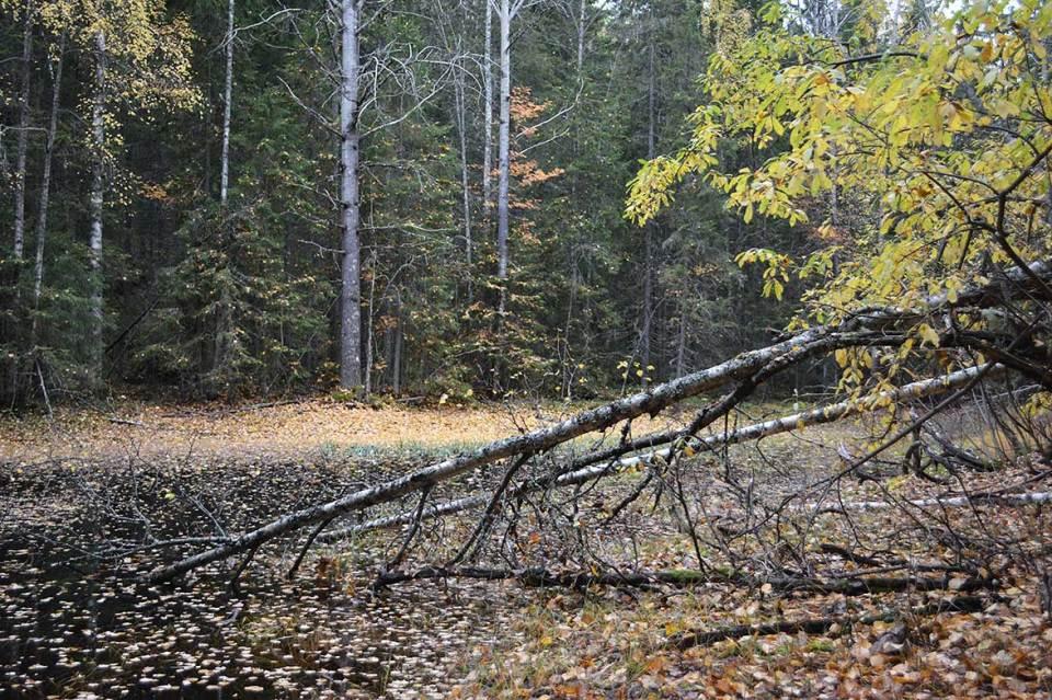 Metsälampi syksyn lehtiä täynnä. Oksia ja puita kaatuneena veteen.