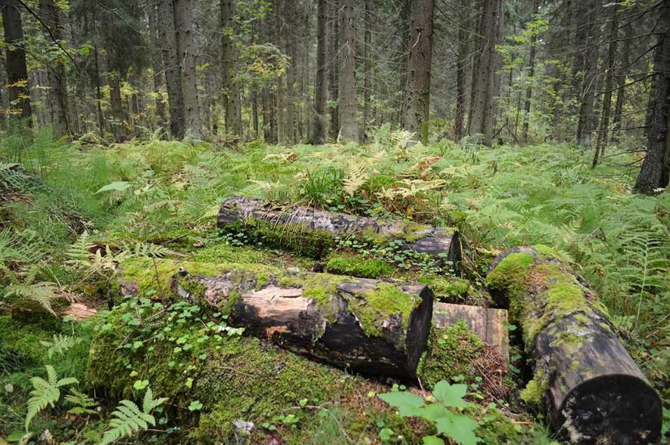 Vanhoja puupölkkyjä maastossa Halmejoen luontopolulla.