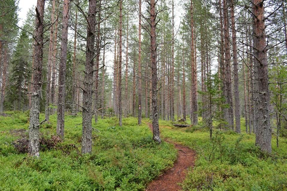 Polku vie metsään