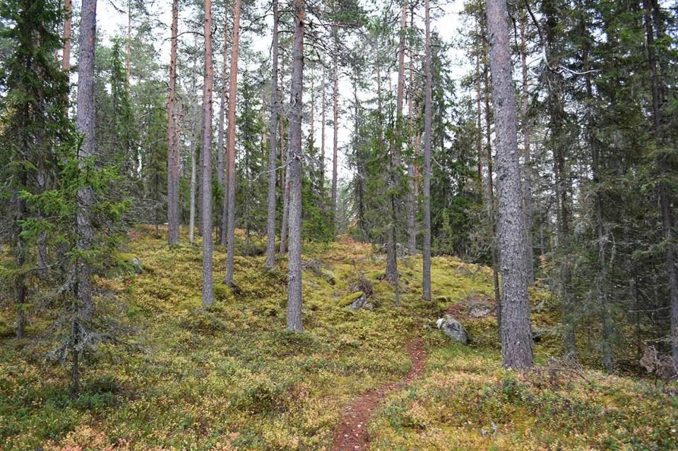 Polku, sammal ja metsä.