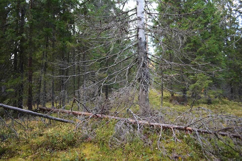 Kaatuneita puita Ukko-Vanulla.