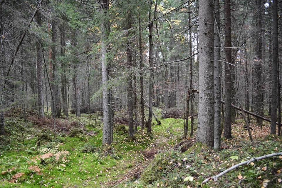 Metsä synkkenee. Vanuvuori on monipuolinen maastoiltaan.