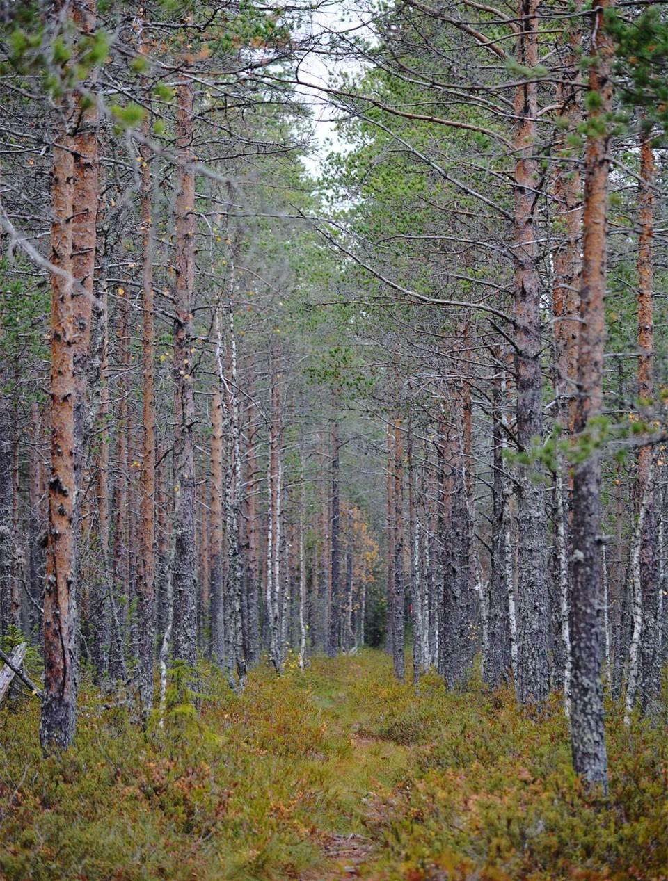 Upea puurivistö polun reunamilla