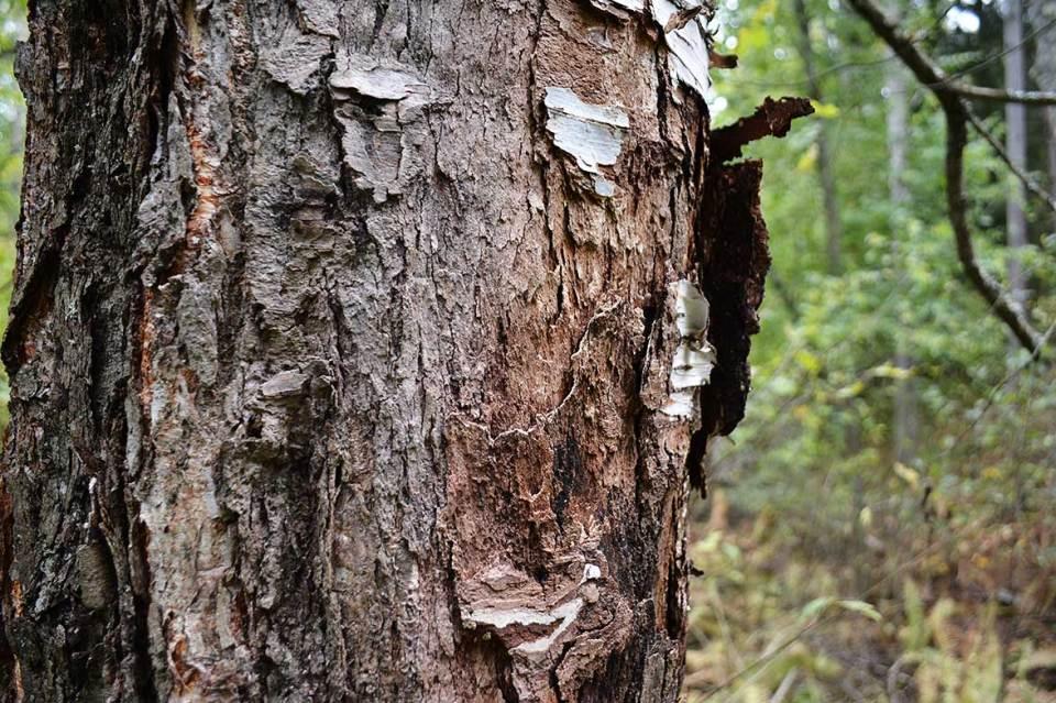 Kuoriutunutta kaarnaa puun rungolla Halmejoen luontopolun varrella.