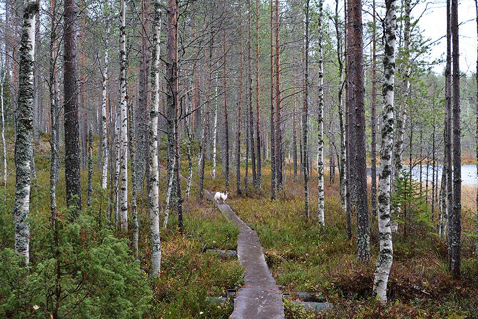 Koivut ja havupuut reunustavat polkua.