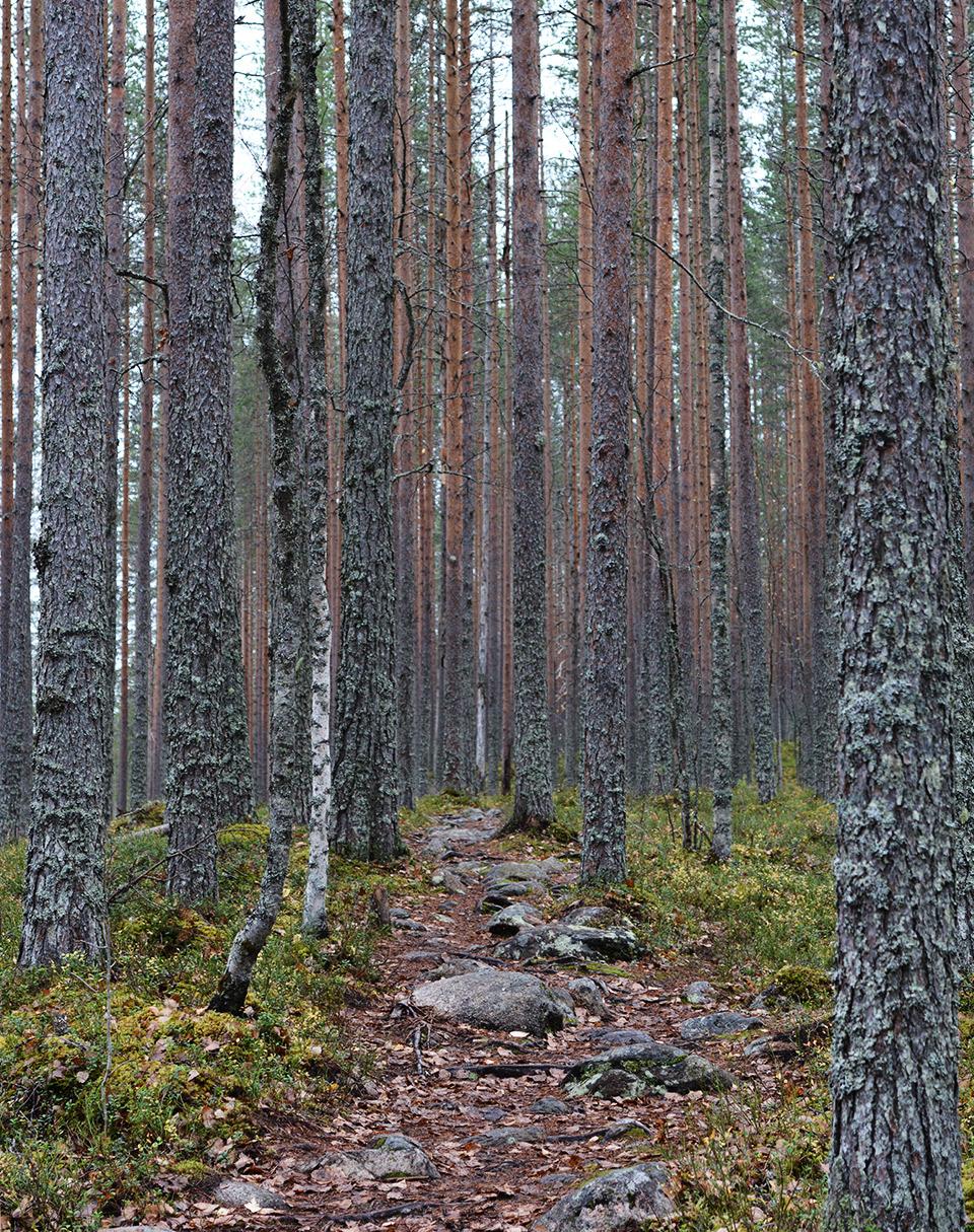 Tiilikkajärven kansallispuiston harjumaisemia