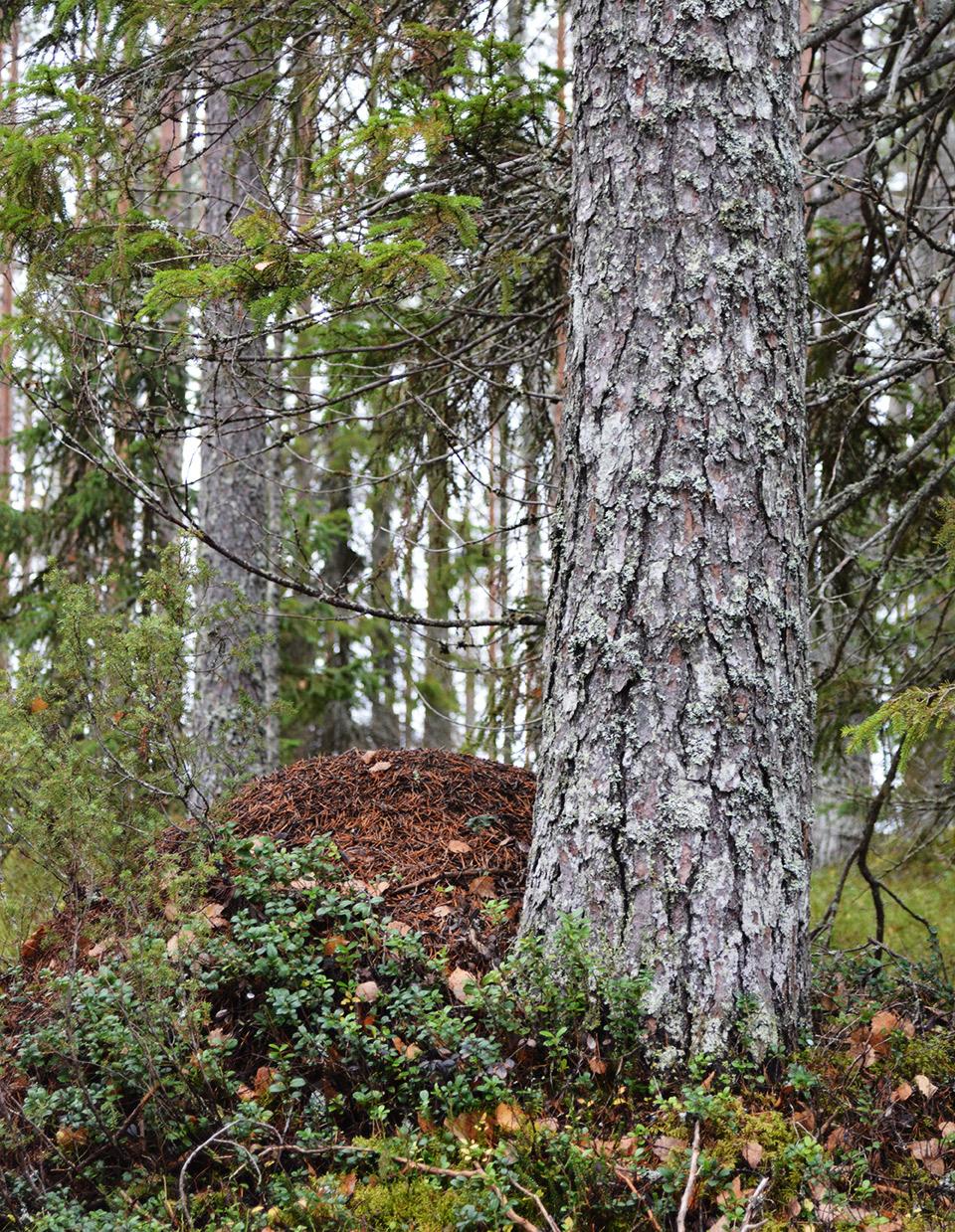 Iso muurahaiskeko Tiilikkajärven kansallispuistossa