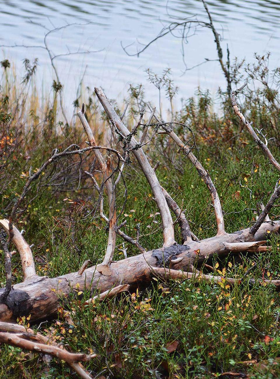 Kaatuneita puita järven rannalla Uiton kierrolla.