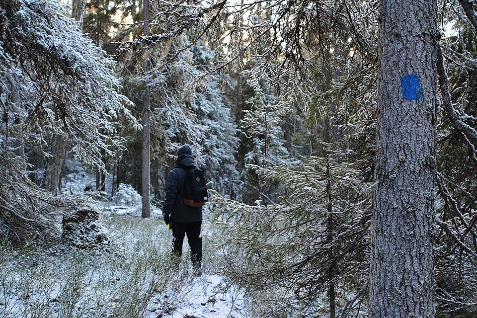 Polku kulkee metsään Sinipyrstön pyrähyksellä. Puun rungossa sininen maalimerkintä.