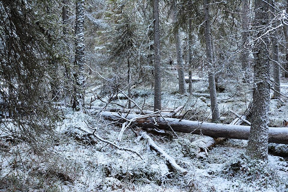 Kuura peittää kaatuneita puita.