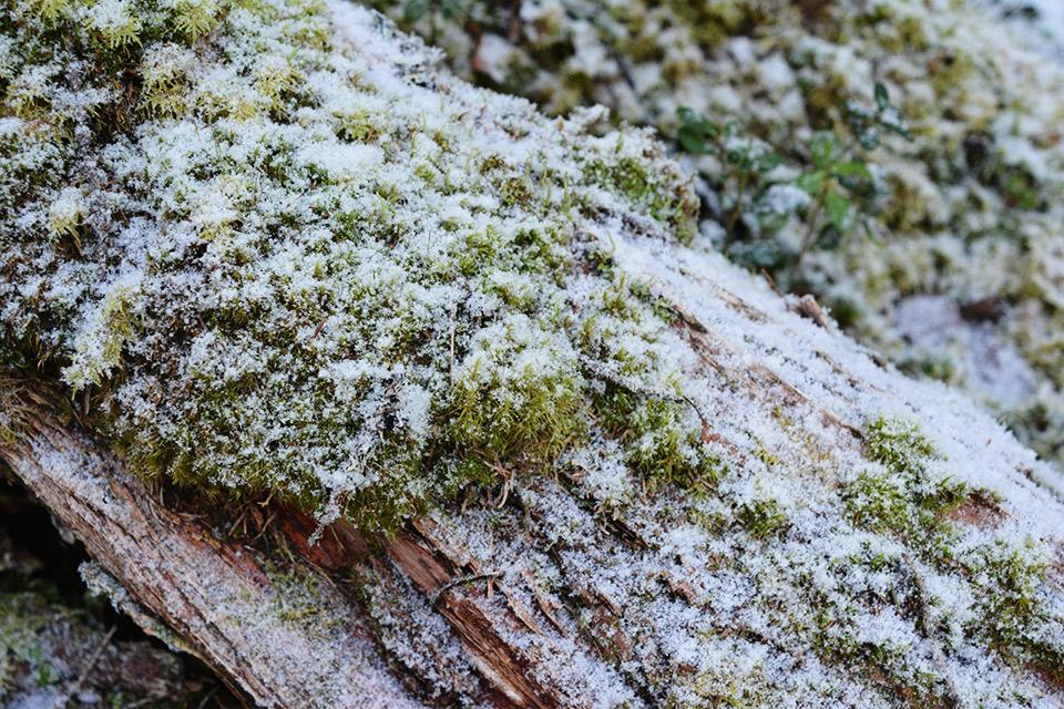 Lähikuva lumihiutaleista sammaleisen puun päällä.