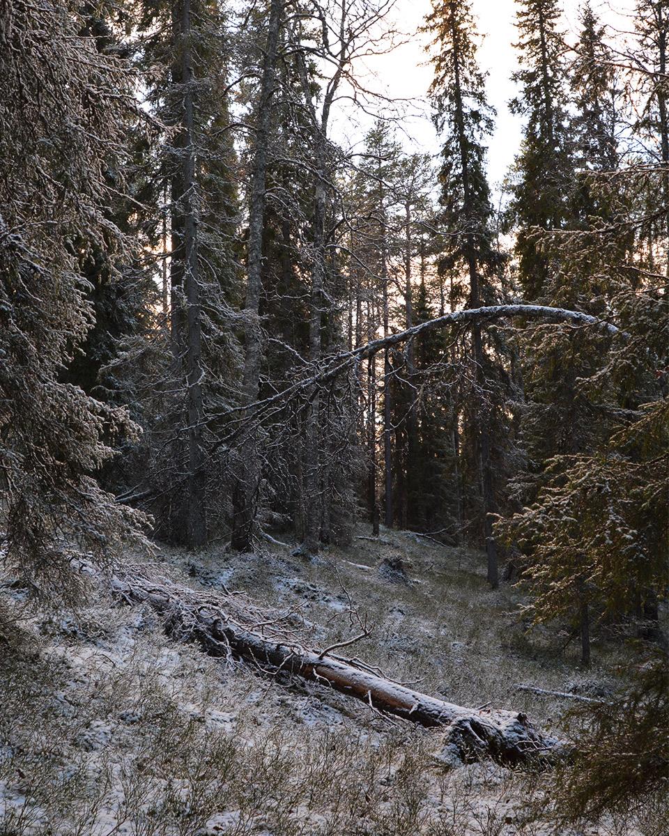 Aurinko paistaa metsässä. Maassa kaatunut puu, jonka ylle taipunut oksa kaartuu.