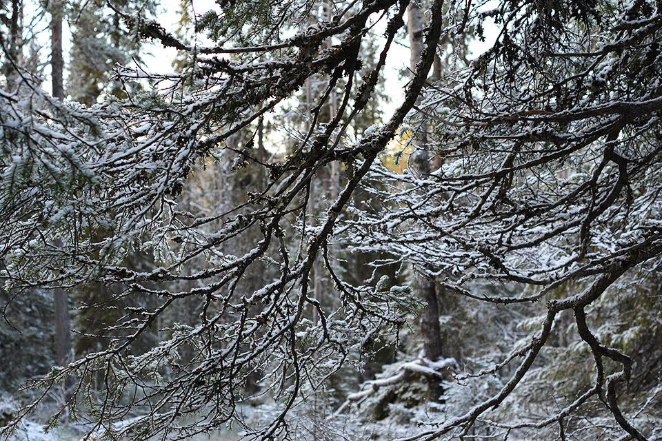 Lumisia oksia alhaalta päin kuvattuna.