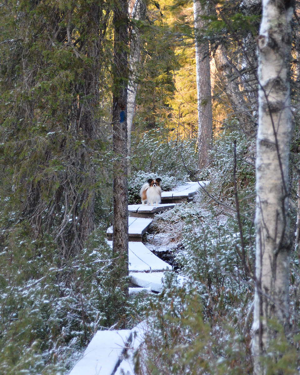 Haiku-koira seisoo pitkospuilla puiden välissä.