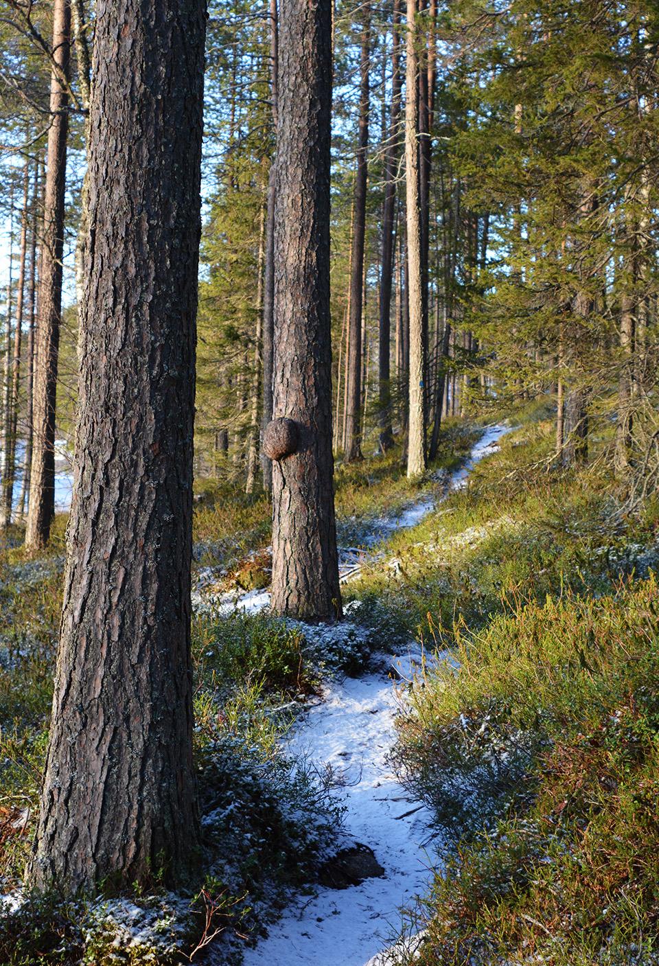 Ohuen lumen peittämä polku, jonka vierellä muutamia isompia puita. Yhdessä puussa kasvaa pahka.