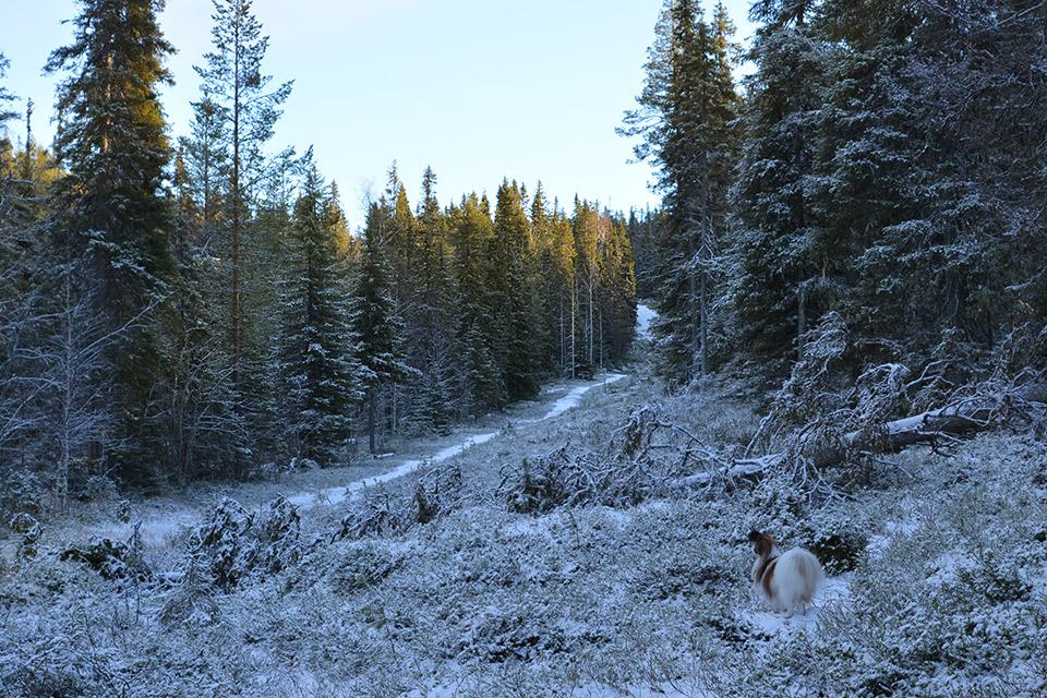 Sinipyrstön pyrähys -reitin leveää polku takaisinpäin mentäessä. Haiku seisoo metsän reunassa katsomassa polulle päin.