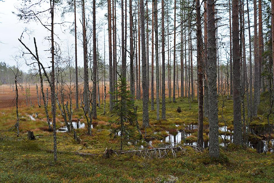 Metsä muuttuu suoksi Tiilikkajärven maisemissa.