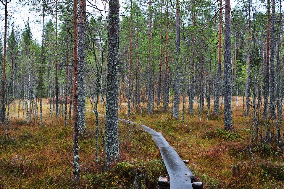 Pitkospuut kulkevat suolle Tiilikkajärven kansallispuistossa