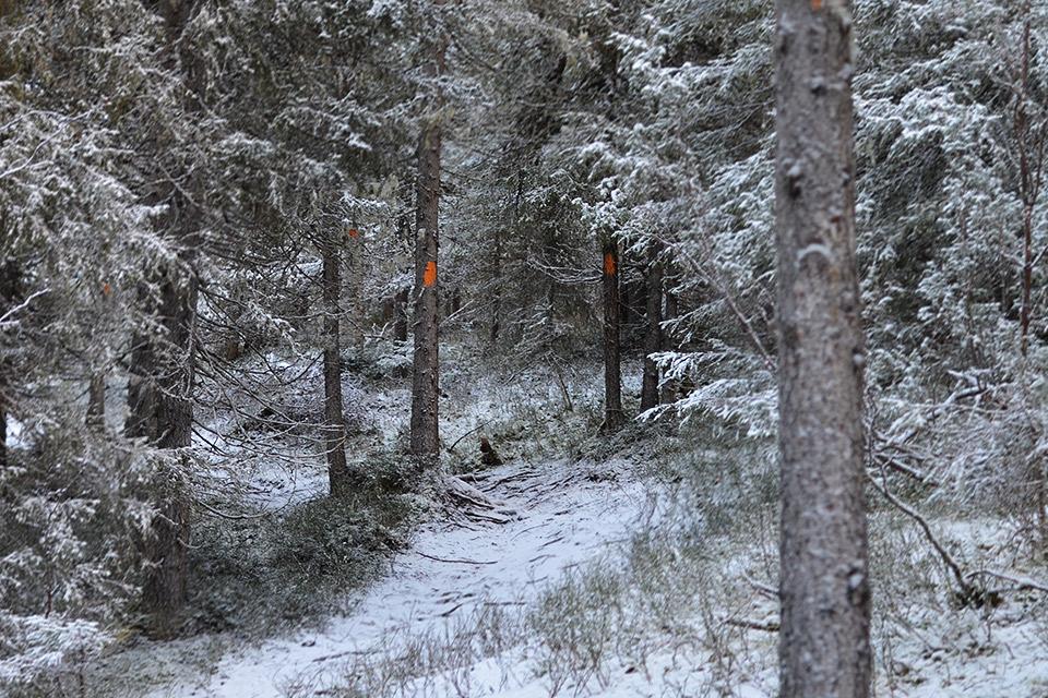 Reitti kohti Suolammen laavua risteilee puiden välissä