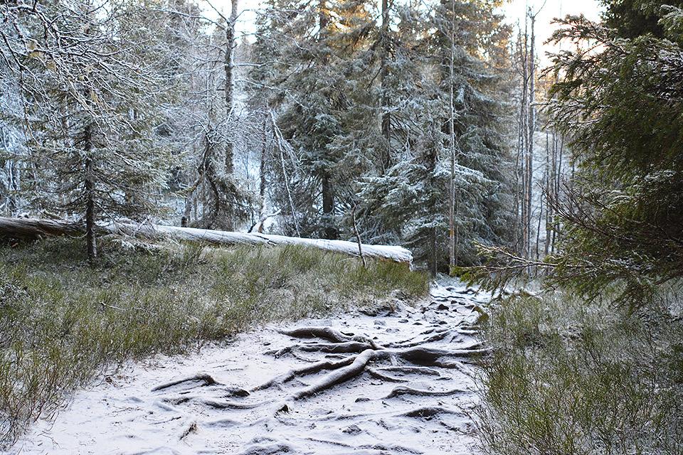 Juurakkoista polkua peittää ohut lumikerros