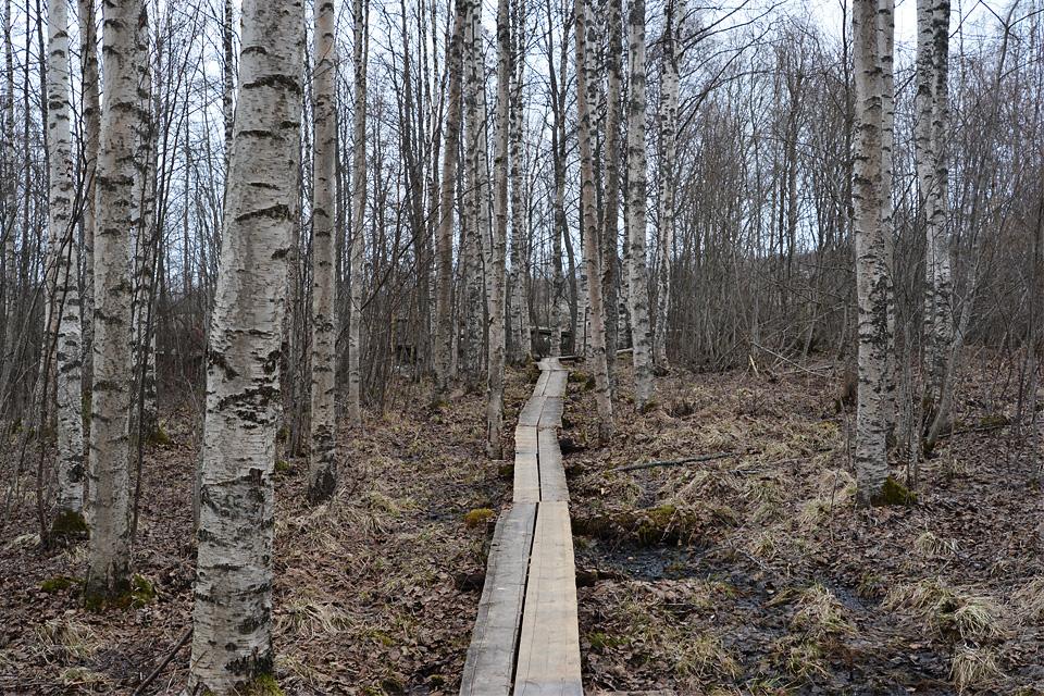 Keskimmäisen lintutornille vievä luontopolku alkaa pitkospuilla koivukujan läpi.