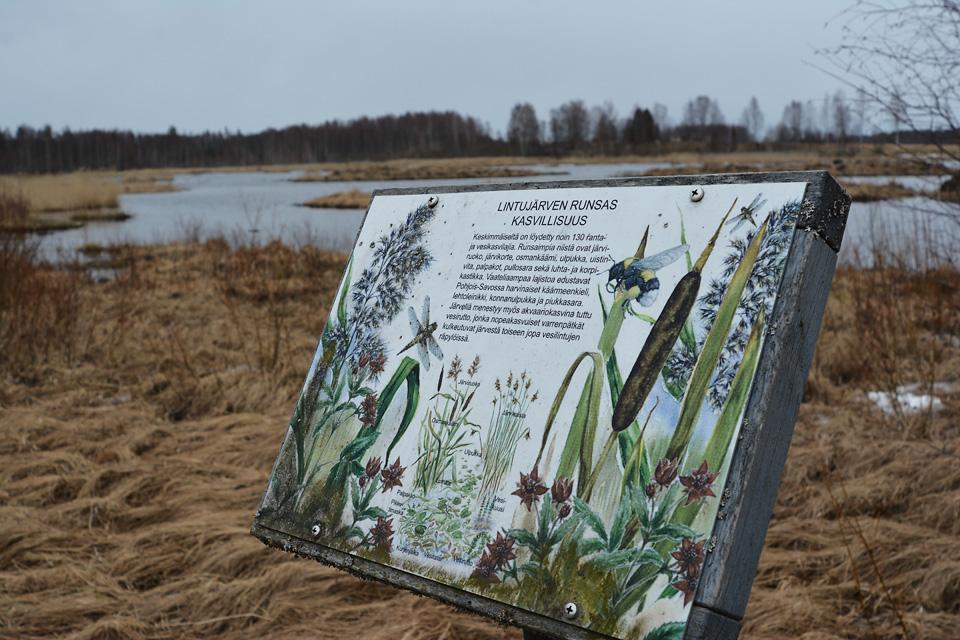 Lintujärven runsas kasvillisuus -infokyltti järven rannalla.