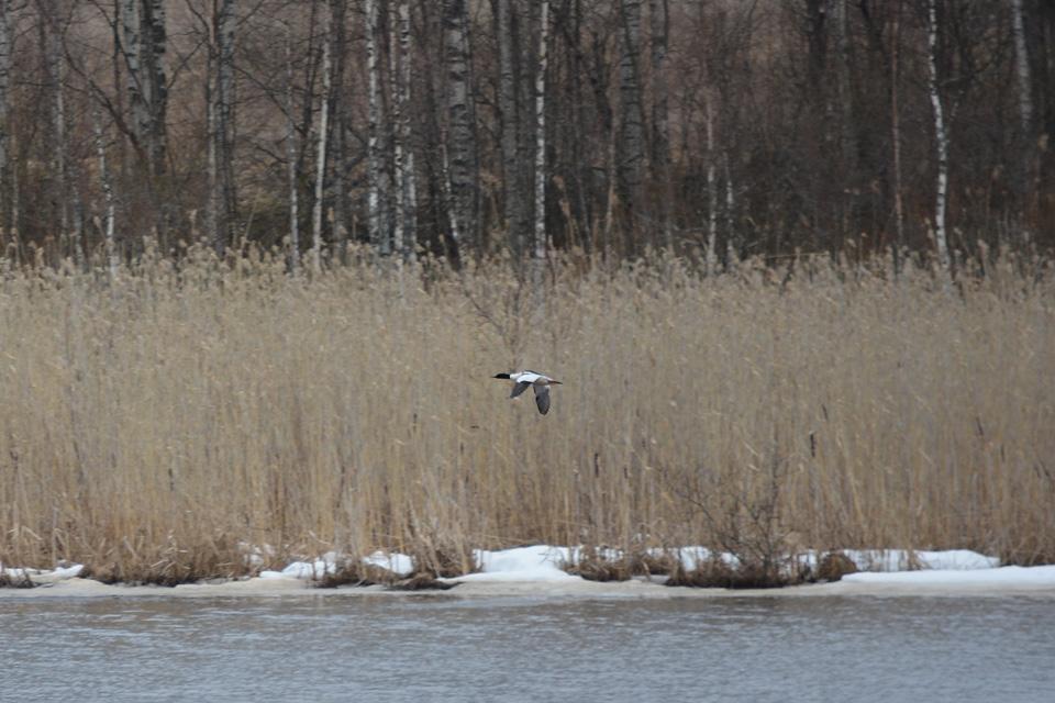 Isokoskelo lentää Keskimmäisen lintujärven yllä.