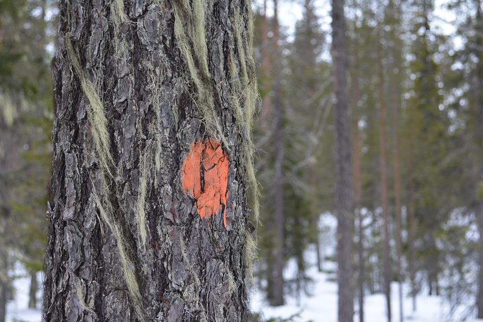 Reittimerkintä ja naavan peittämä puunrunko.