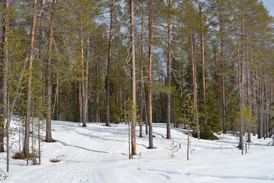 Polku Värikalliolle vie suurimmalta osin metsien halki.