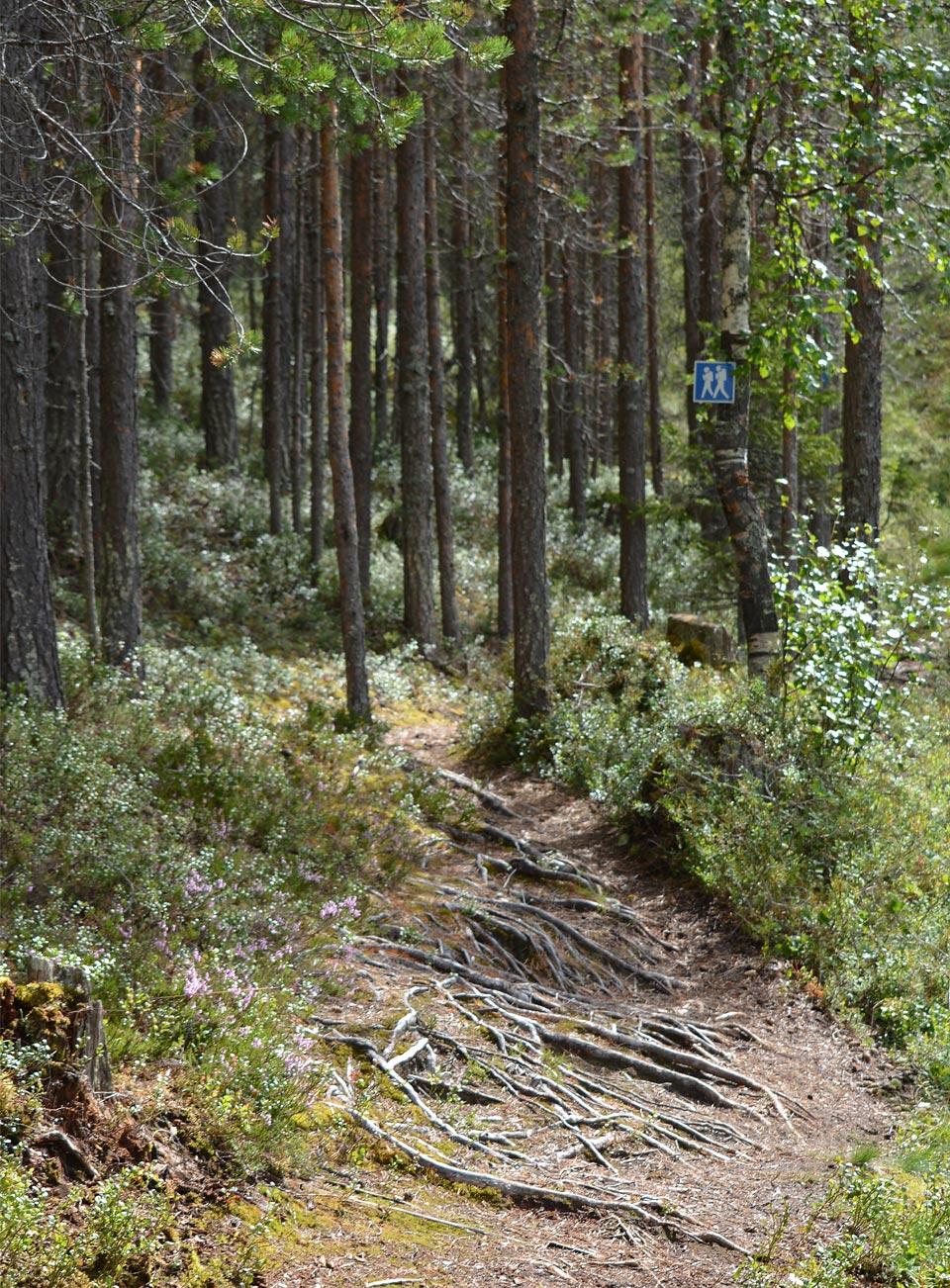 Sotkan Ämminpolun laavulta reitti jatkuisi eteenpäin Metsäkuninkaan polulle.