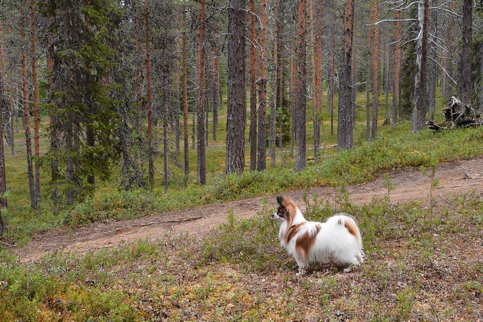 Haiku katselee maisemia Sallatuntureiden luontopoluilla. Koirankin kanssa voi kävellä maastossa helposti.