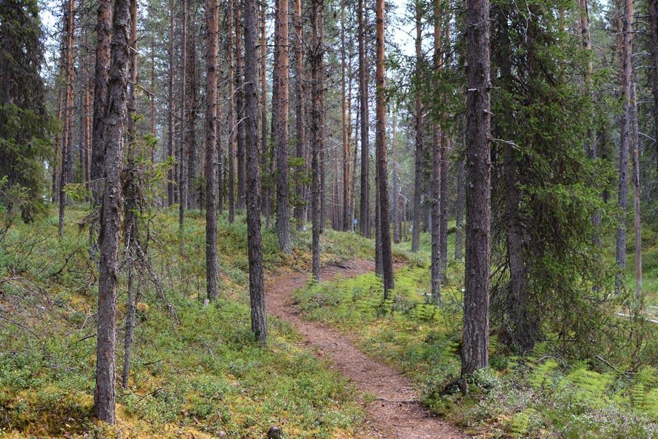 Polku kohti Hangasjärveä vie mutkitellen havumetsän halki.