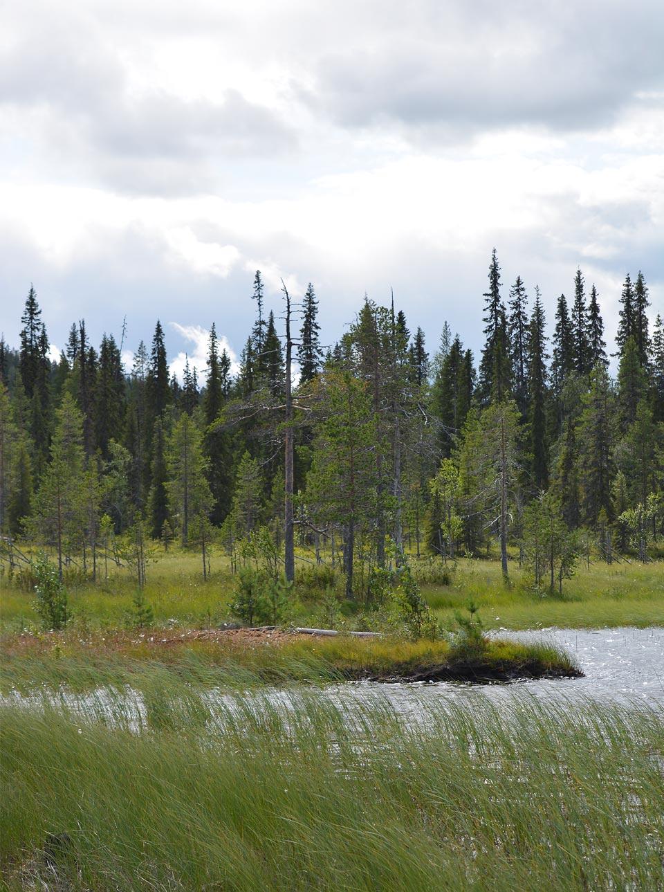 Hangasjärvi muuttuu suoksi.